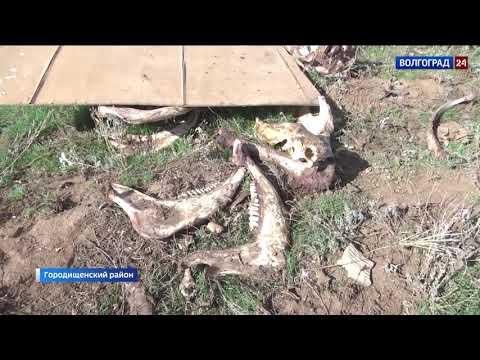 Управлением Россельхознадзора на территории Волгоградской области зафиксирована несанкционированная свалка биологических отходов