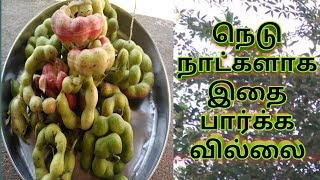 Gorikalika | Gorikalika Tree | Gorikalika Fruit And Benefits