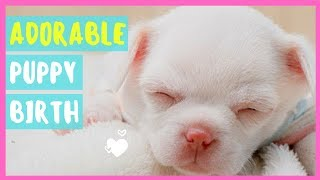 Maltese Dog Gives BIRTH To Adorable CUTE PUPPIES😍 - Witness Birth & First 8 Weeks😍