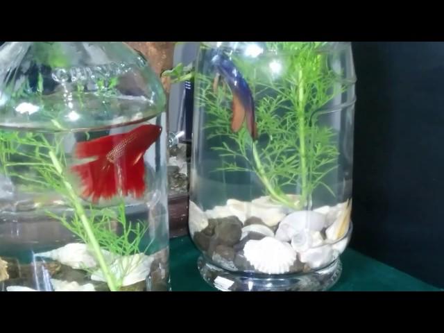 Keindahan ikan cupang hias Aquarium botol