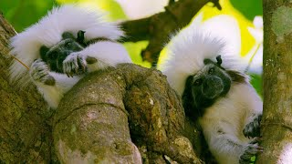 Adorable primates face extinction due to deforestation | Seven Worlds, One Planet | BBC Earth