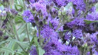 Minnesota Native Plant - Bunched Ironweed (Vernonia Fasciculata)