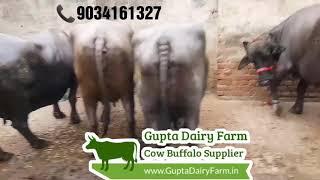 Murrah Buffalo cow - Video hài mới full hd hay nhất - ClipVL net