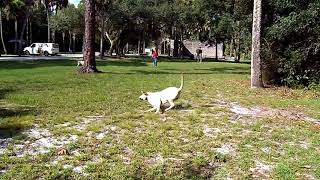 Copy of PINPOINT RECALL Lab Puppy BUMPERS Exceptional Dog