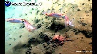 Осьминог лентяй - рождённый ползать порхать не хочет Okeanos Explorer 2018 :)