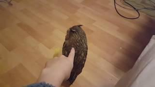Смотреть онлайн Можно ли к сове подойти сзади незаметно