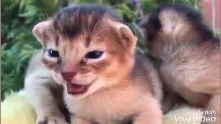 Нам 15 дней, котята из старшего помета (дата рождения 24 октября 2018 г.)