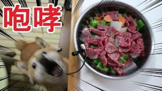 柴犬小春 【ASMR】牛肉生食に咆哮!・・・だがそれがいい raw Food For Dog