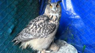 Yoll the eagle-owl and a four-letter word. UHOO!