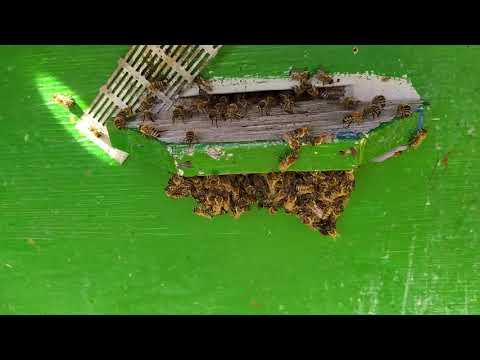 Адская жара 11/06/2020. Поведение пчел и прочее...