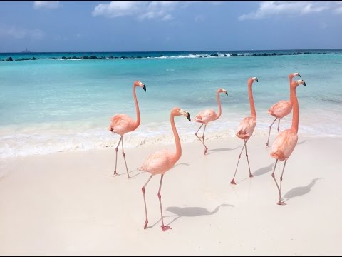 Download Flamingo Party in the Caribbean! Mp4 HD Video and MP3