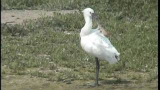 preview picture of video 'Spoonbill at Wat Tyler Country Park, Basildon, Essex. July 2007'