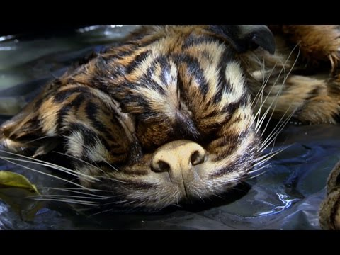 Horrific Reality Of Tiger Poaching | Tigers About The House: What Happened Next | BBC Earth Mp3