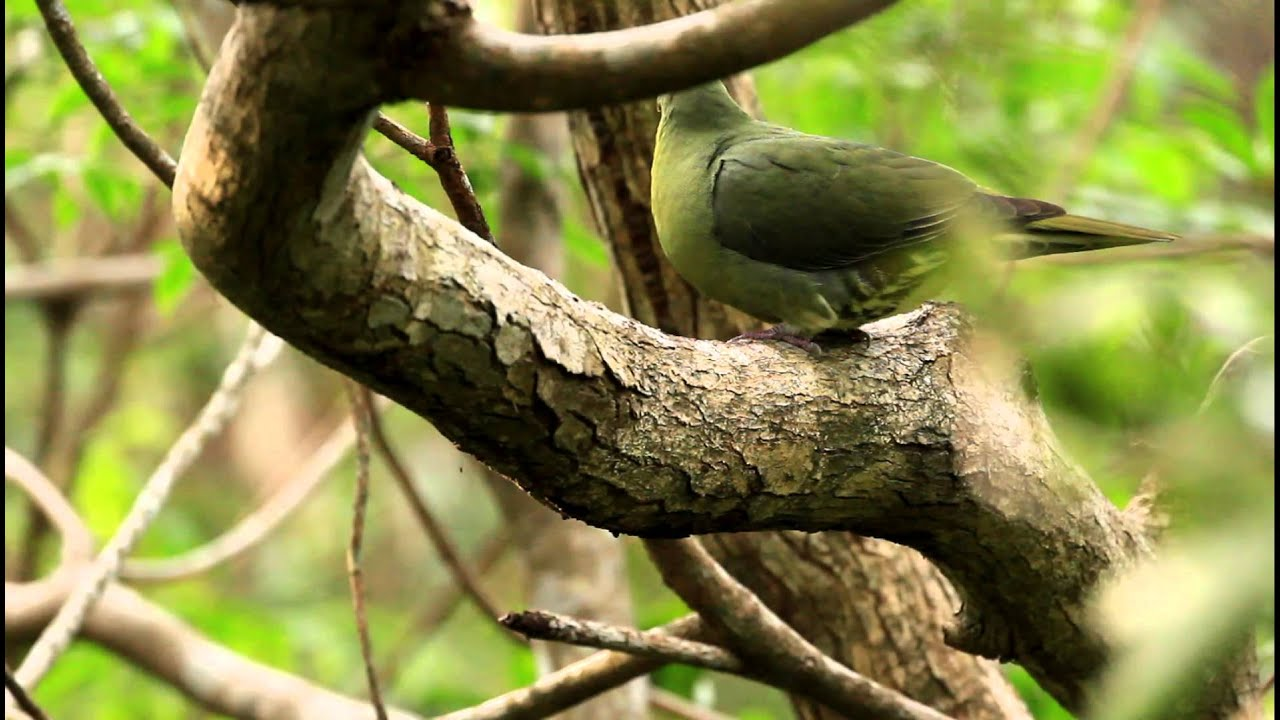 Whistling Green Pigeon - Sphenurus Formosae