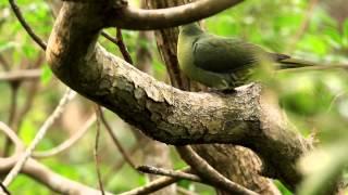 Whistling Green Pigeon - Sphenurus Formosae