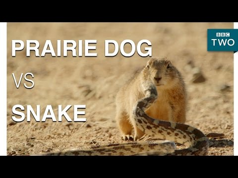 A Prairie Dog Fights Off A Snake - Mexico: Earth's Festival Of Life | Episode 3 Preview - BBC Two