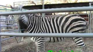 Good Zebra Bad Zebra.