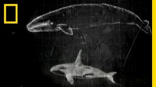 Whale Attack | National Geographic thumbnail