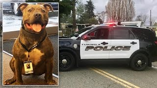 Abandoned Pit Bull On the Verge of Euthanization Gets 2nd Chance as Police Dog