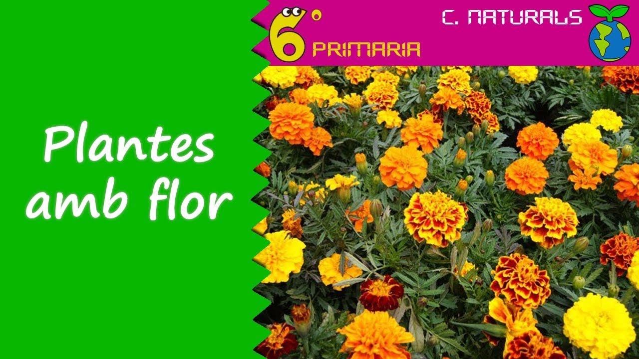 Plantes amb flor. Naturals, 6é Primària