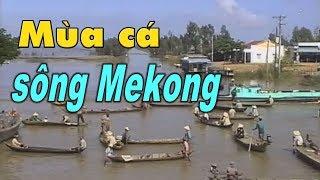 Mùa cá linh ở đồng bằng sông Mekong, Việt Nam