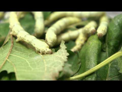 Giardia และการป้องกันเอช pylori