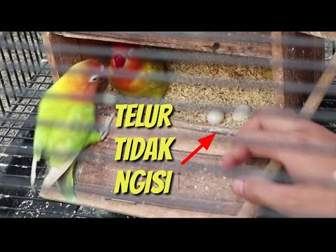 mp4 Love Bird Zonk Terus, download Love Bird Zonk Terus video klip Love Bird Zonk Terus