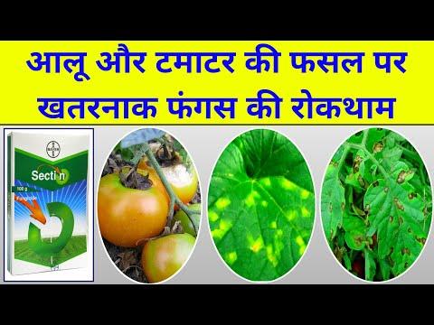 , title : 'Late blight tomato | Potato | Bayer Sectin fungicide, advance agriculture, grape डाउनी मिलडायू
