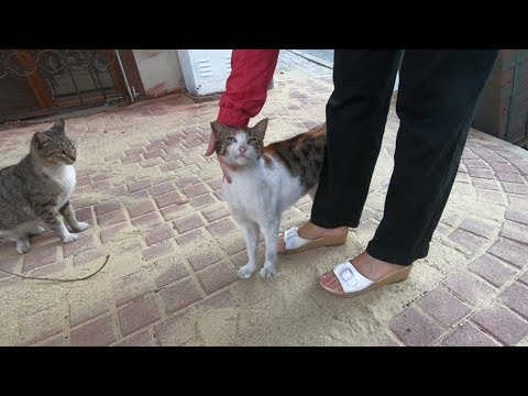 Lovely calico cat wants affection and food on the street