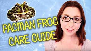 Pacman Frog Care, Diet, And Tank Set Up