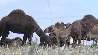 В сёлах Тарановского района зарождаются верблюжьи фермы
