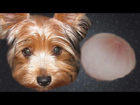 Грыжа у собак | Виды грыжи | Лечение грыж.