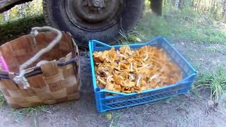 Как заработать на грибах. Собираю лисички на сдачу.