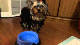 yorkie breeder los angeles - Free video search site - Findclip Net