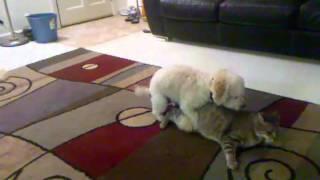 Dog humping cat