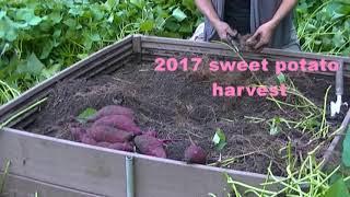 2017 Sweet Potato Harvest On A Raised Bed.