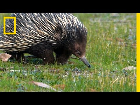 Prickly Love: Echidnas Caught Mating   National Geographic thumbnail