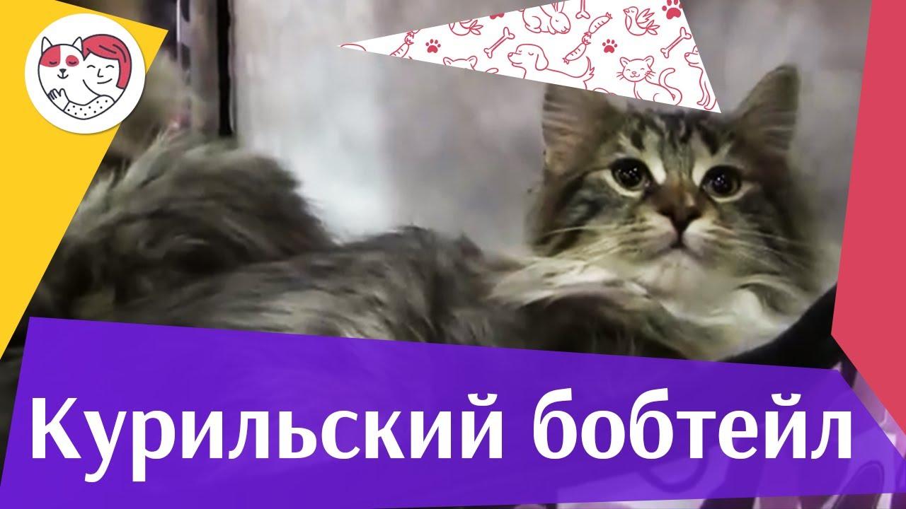 КОШКИ КУРИЛЬСКИЙ БОБТЕЙЛ ЗООШОУ 2016 НА ilikepet