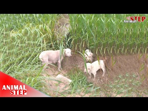 Stray Dog Mother with Nine Puppies Rescued from the Land Field