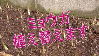 【家庭菜園】ミョウガの植え替え「Japanese Ginger:myouga」