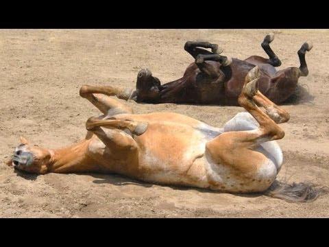 Lattivatore di cavallo e dove prenderlo
