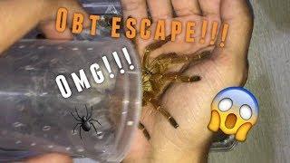 Packing an Orange Baboon (& CGK) Tarantula for Shipping !!!