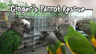Ginger's Parrot Rescue for Senegals and Cockatiels