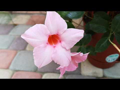 """Дипладения """"Мандевилла"""" - как за ней ухаживать, чтобы снова порадовала цветением"""