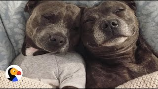 Most Pampered Pit Bulls In The World | The Dodo