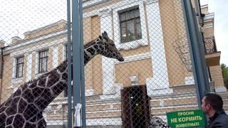 Samson the Giraffe from Moscow Zoo / Жираф Самсон из Московского зоопарка