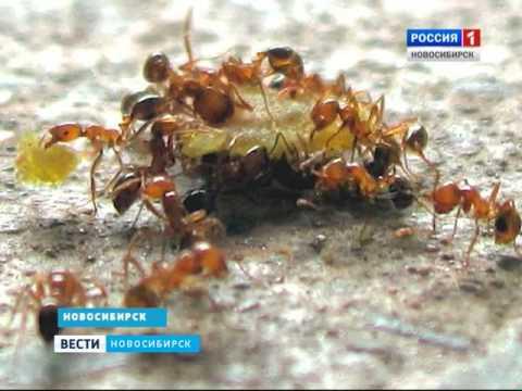 Квартиры новосибирцев атаковали фараоновы муравьи
