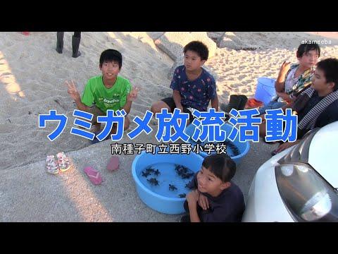種子島の学校活動:西野小学校前之浜海岸でウミガメ放流活動令和2年
