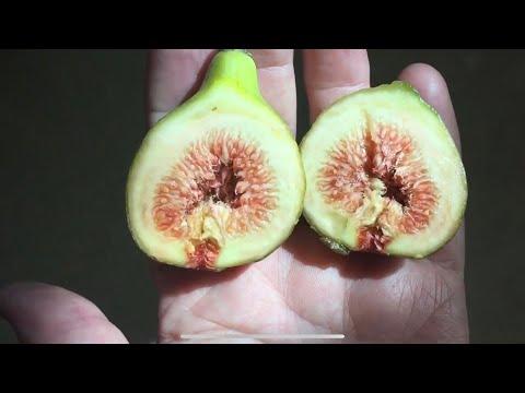 Инжир. Маленький секретик при выращивании растения.