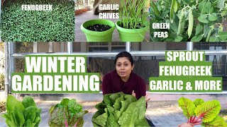 Winter Gardening Grow Green Peas Sprout Garlic Chives Onion Fenugreek Cilantro Bhavna's Kitchen